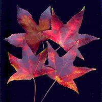 4 Leaf Coral
